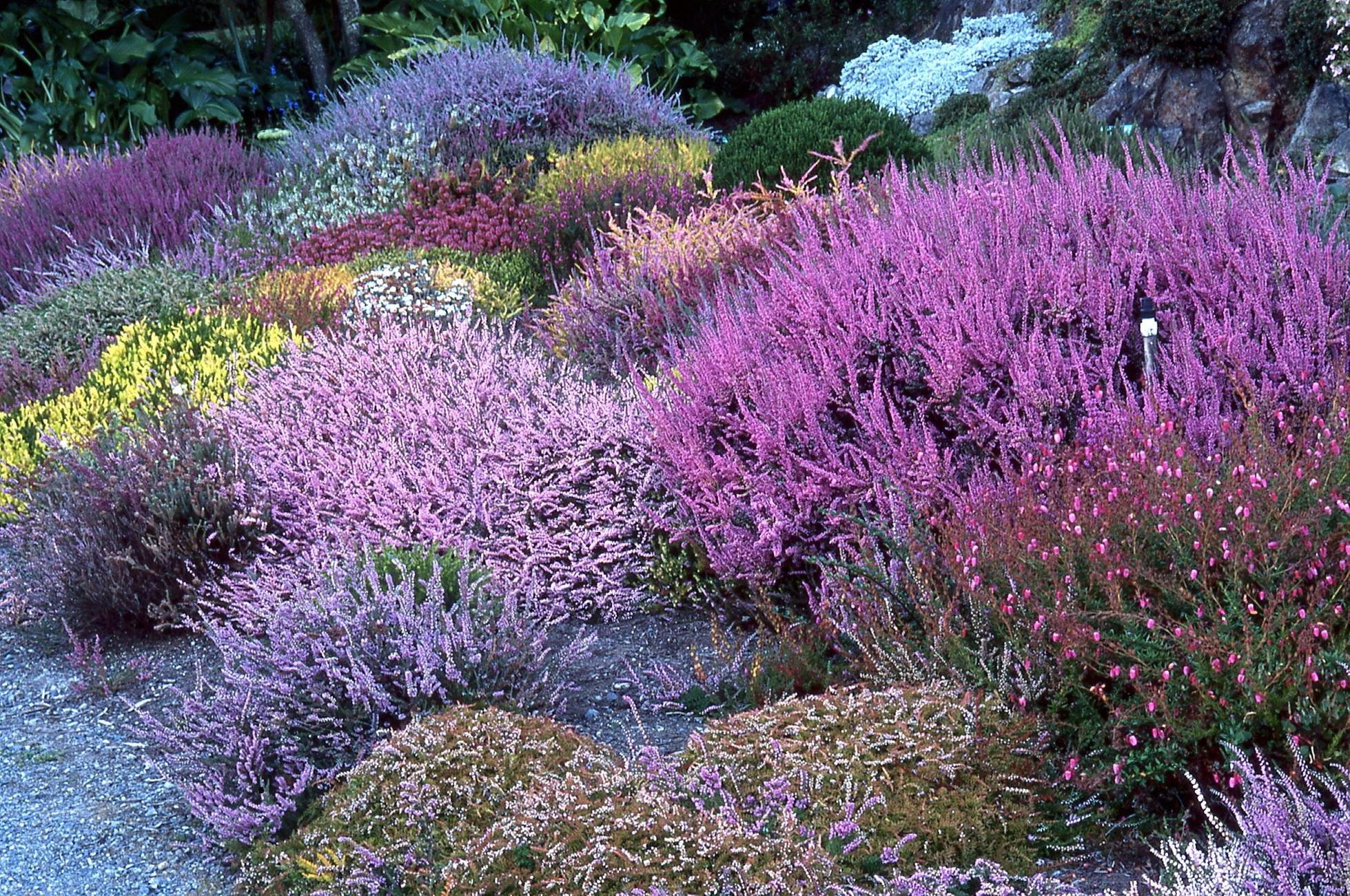 Вереск обыкновенный. Супер сад 661