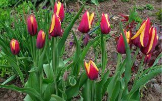 Можно ли высаживать тюльпаны весной?