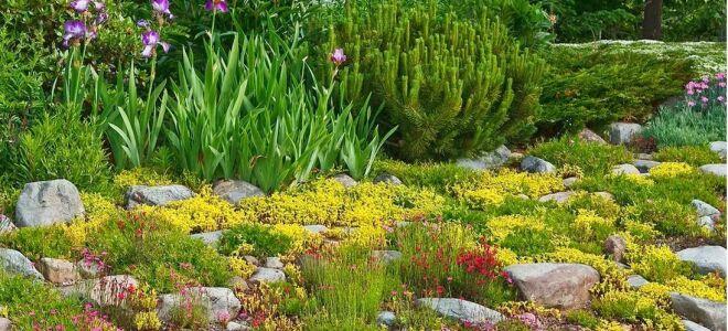 Лучшие растения для рокария: многолетники, хвойники, почвопокровные