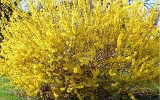 Форзиция в цвету: первый весенний привет