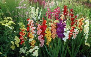 Гладиолусы: выращивание и уход
