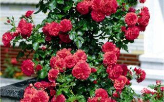 Плетистые розы — вертикальное украшение сада