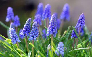 Как сажать луковичные: весну делаем осенью