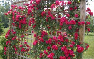 Роза плетистая: посадка, уход, сорта