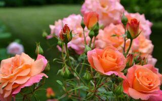 Обрезка роз весной