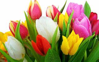 Особенности посадки тюльпанов в грунт осенью