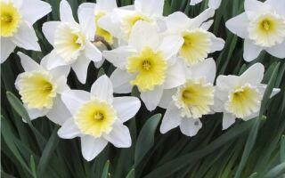 Нарциссы: немного солнца в вашем саду
