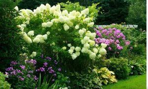 Какие растения хорошо сочетаются с гортензиями
