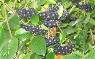 Рябина черноплодная и другие сорта рябины