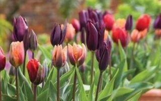 Тюльпаны отцвели: что с ними делать дальше