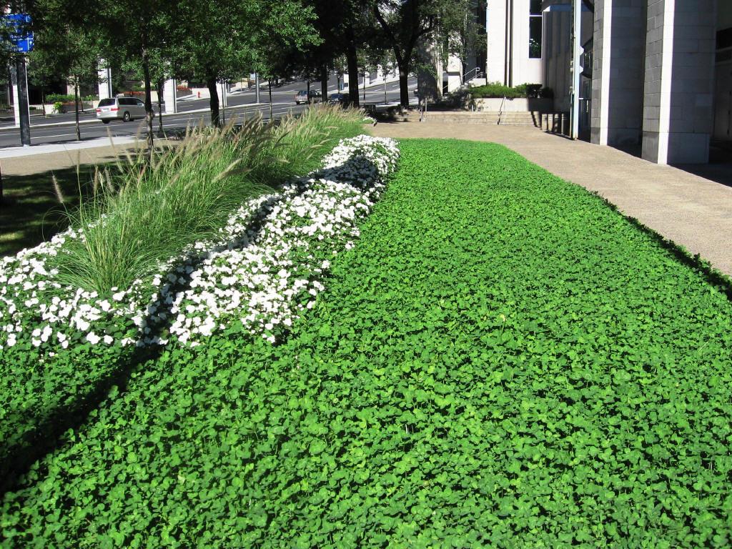 Клеверный газон в ландшафтном дизайне
