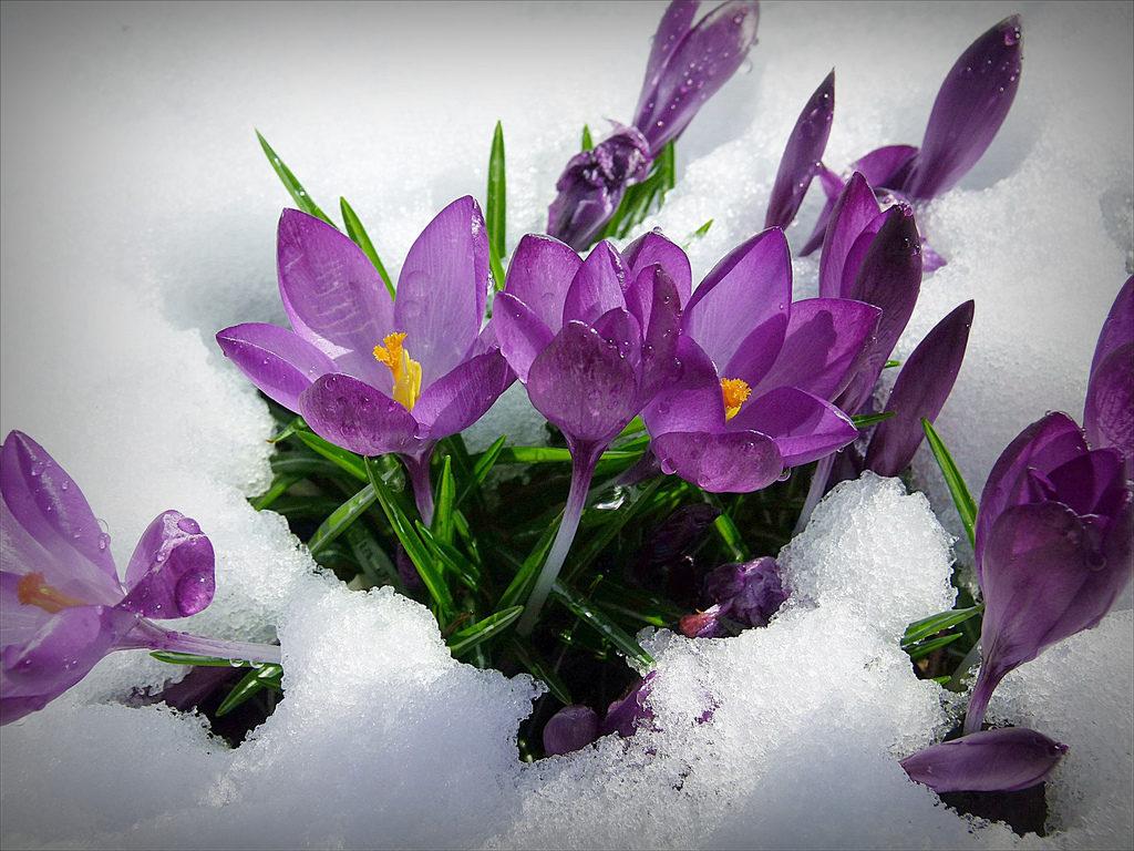 Крокусы-первые весенние цветы