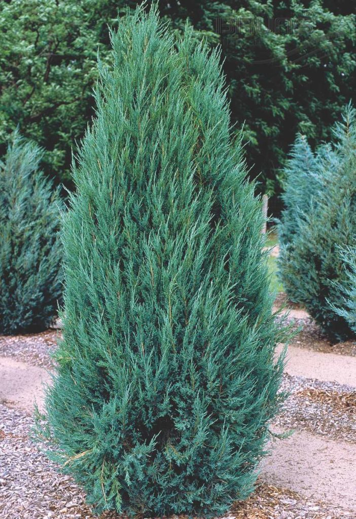 Juniperus scopulorum - Blue Arrow (Блю Эрроу)