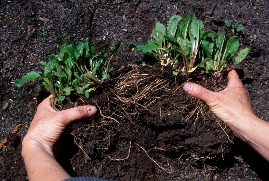 Деление растения для посадки