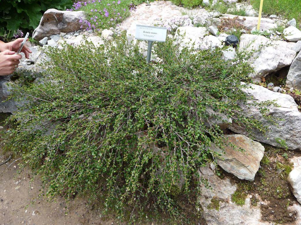 Береза карликовая (Betula nana)