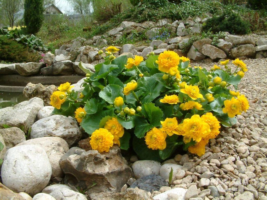 Калужница болотная сорт «Flore Plena»