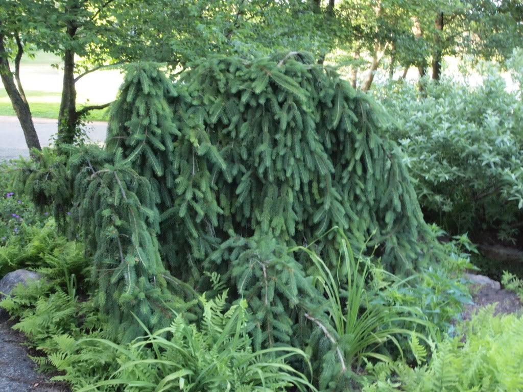 Ель обыкновенная « Инверса» (Picea abies Inversa)