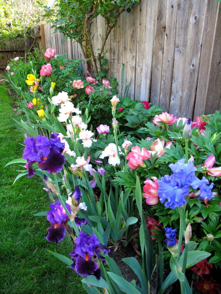 Разноцветье ирисов