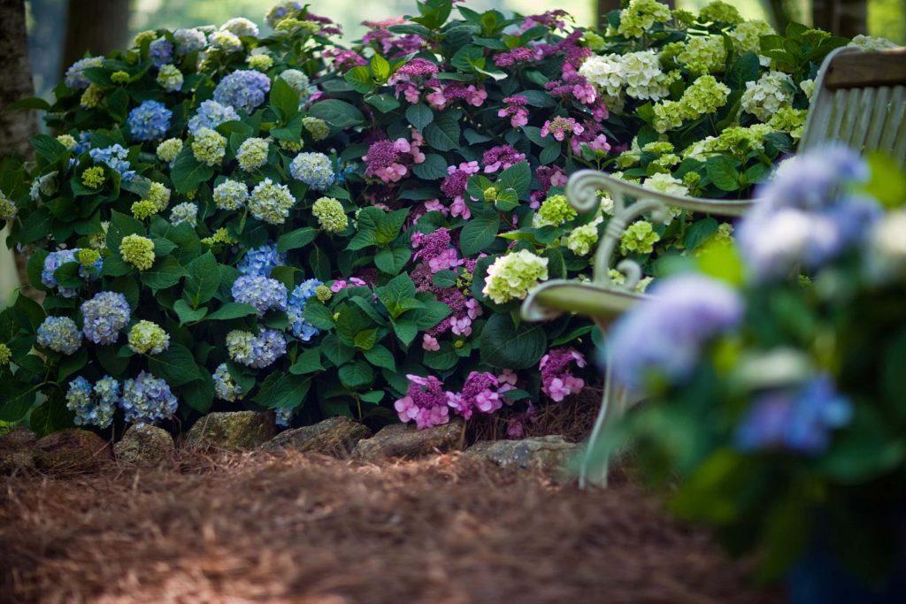 Разноцветье гортензий