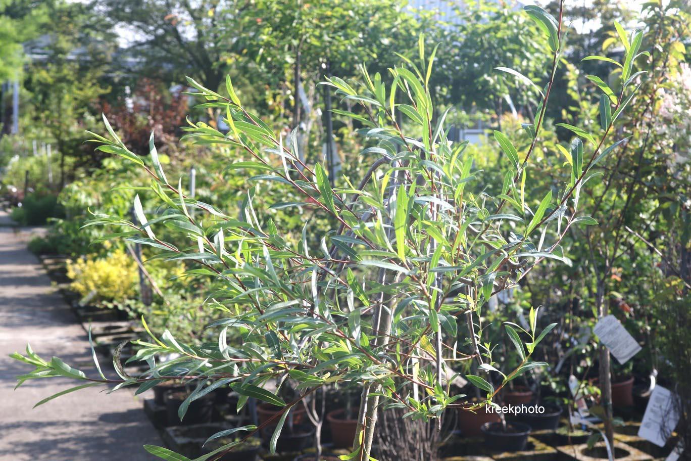 Ива пурпурная «Пендула» ( Salix purpurea Pendula)