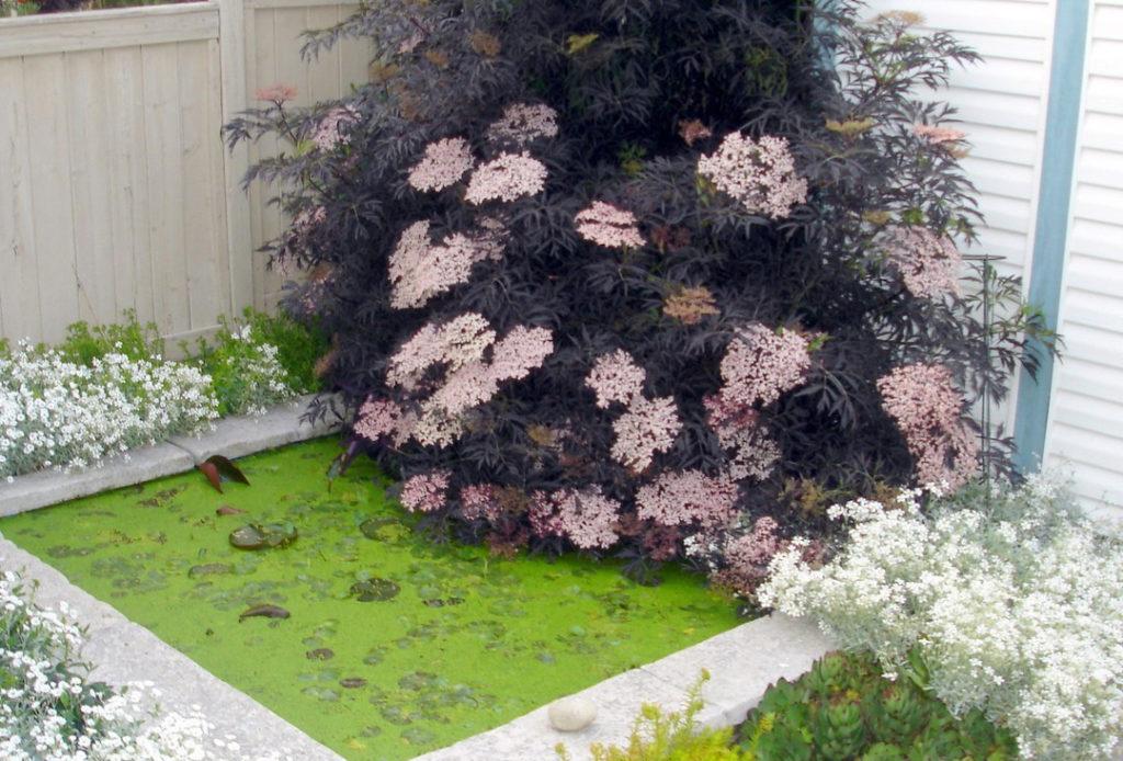 Бузина черная « Блэк Лайс» (Sambucus nigra Black lace)
