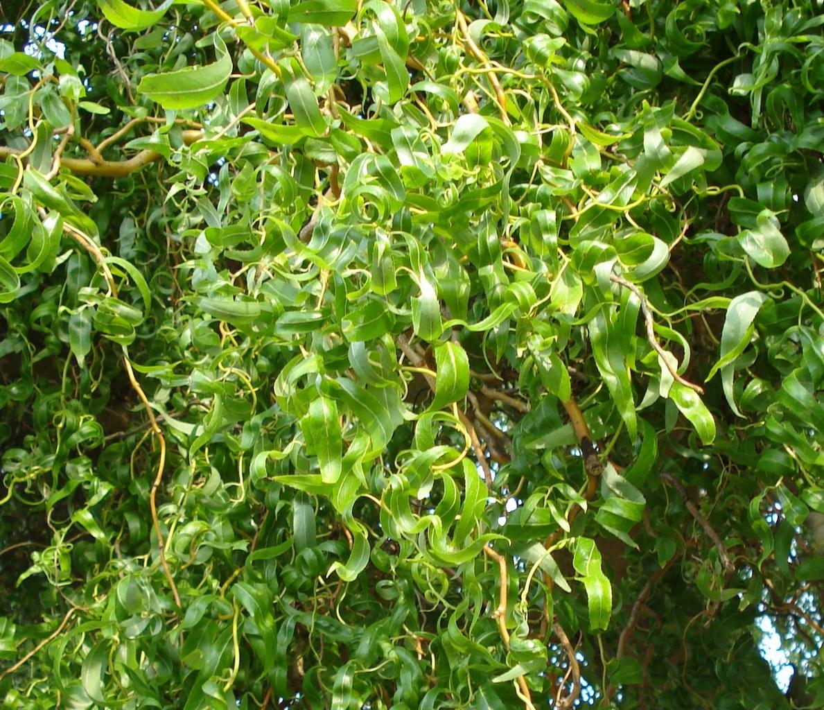 Ива Матсудана (Salix Erythroflexuosa)