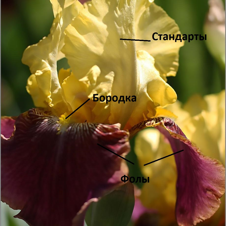 Цветок бородатого ириса: стандарты, бородка, фолы