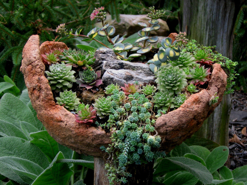 Суккуленты - вечнозеленые засухоустойчивые растения для альпинария