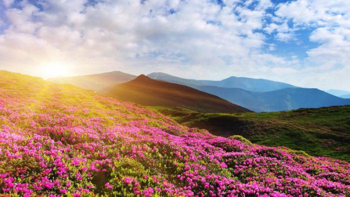 Цветущие рододендроны в горах