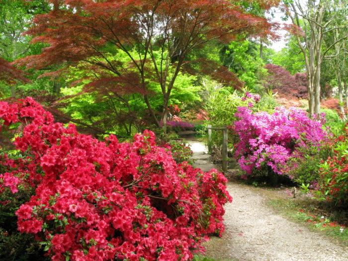 Рододендроны в пейзажном саду