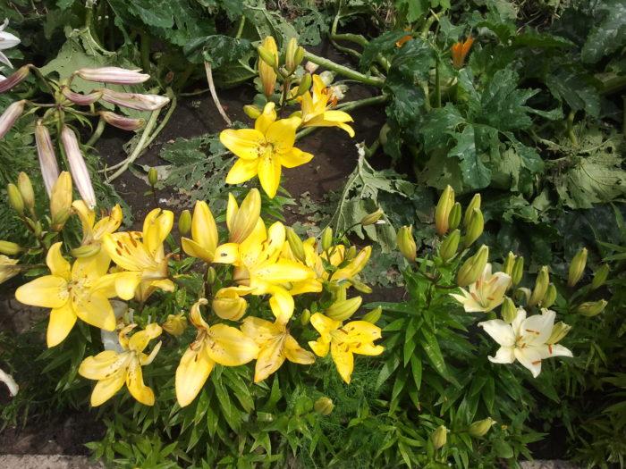 Лилии в саду