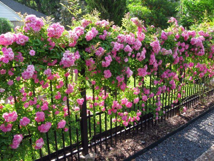 Изгородь из плетистых роз