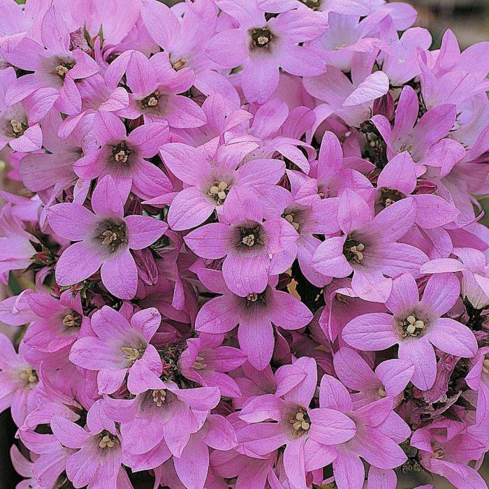 Колокольчик Campanula lactiflora 'Dwarf Pink'