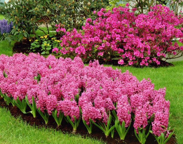 Цветок гиацинт многолетний