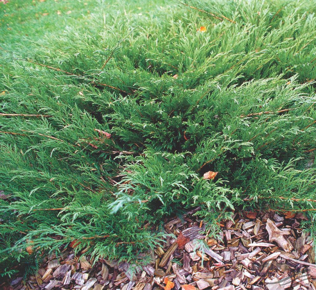 Juniperus sabina Mas