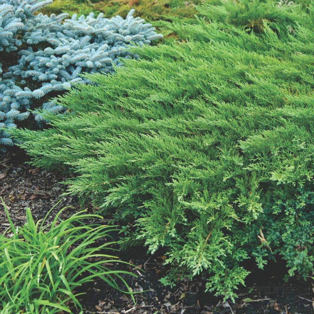 Juniperus sabina Rockery Gem