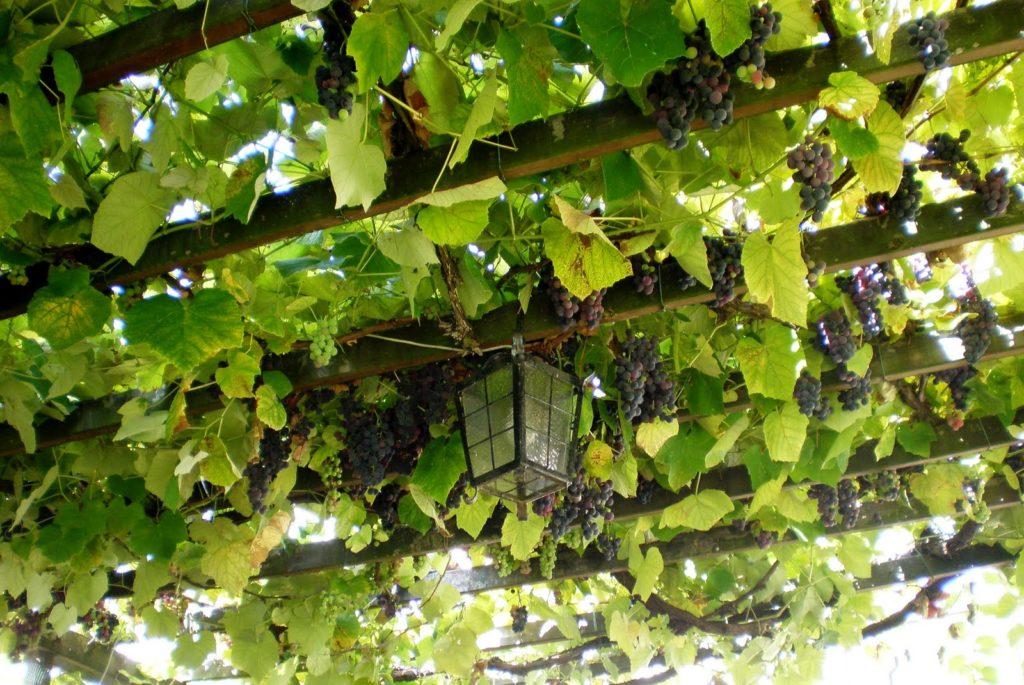Горизонтальная поддержка для винограда