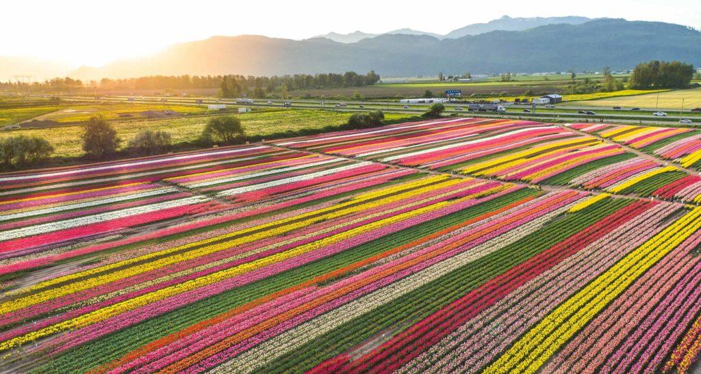 Поля тюльпанов на ферме (Фрейзер Вэллей, Канада)