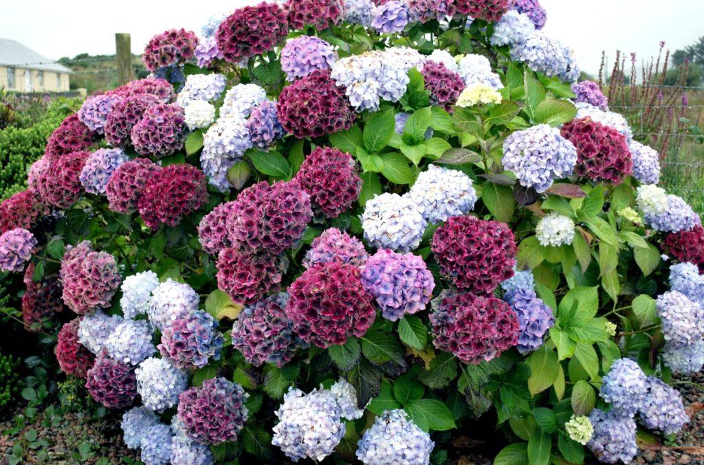 Разноцветные цветки на одном кусте гортензии
