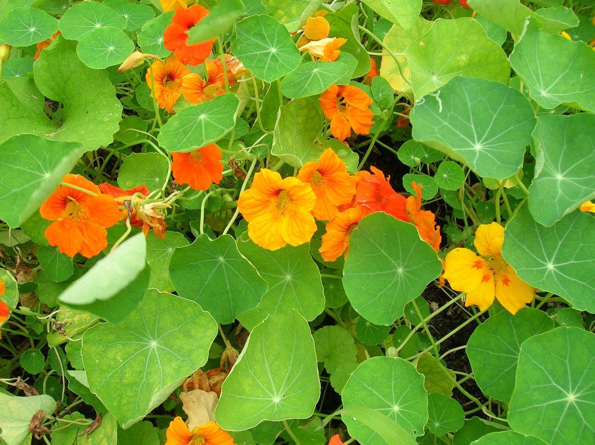 вам цветы настурция посадка и уход фото восьмидневный праздник весны