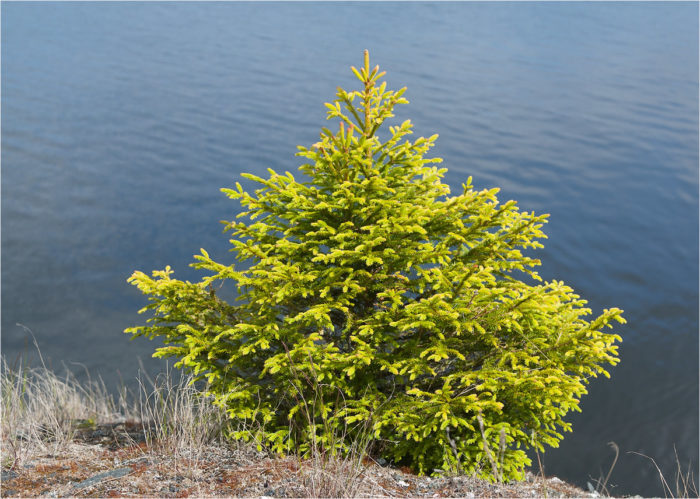 Picea obovata (фото Мария Новикова)
