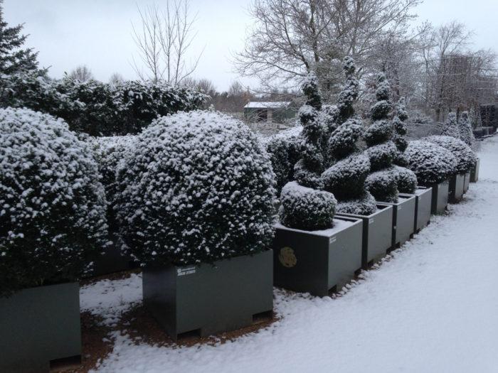 Топиарии в снегу