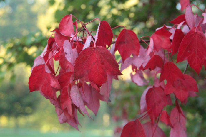 Листья красного клена
