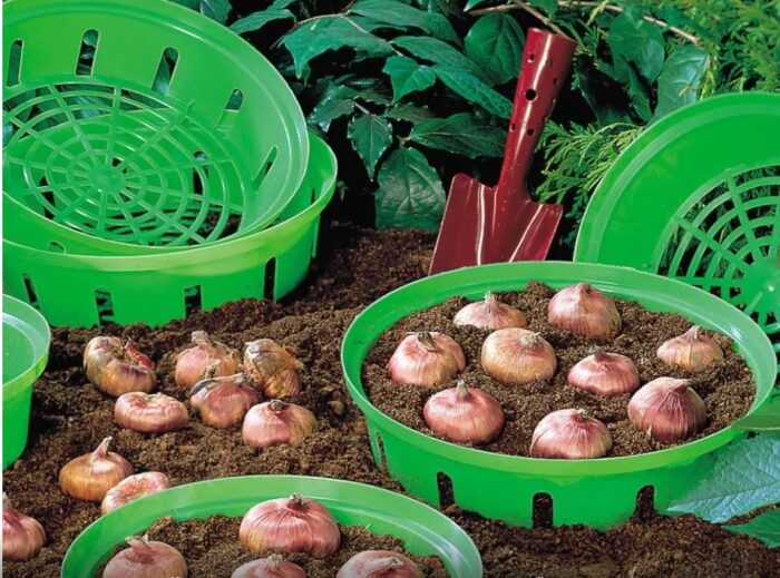Луковицы в контейнерах