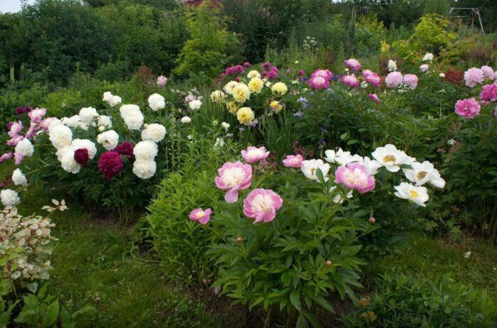 Пионы и розы