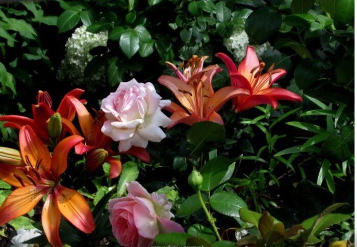 Розы и лилии: яркое партнерство