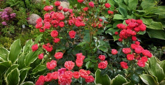 Розы с хостами