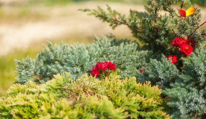 Можжевельник и розы