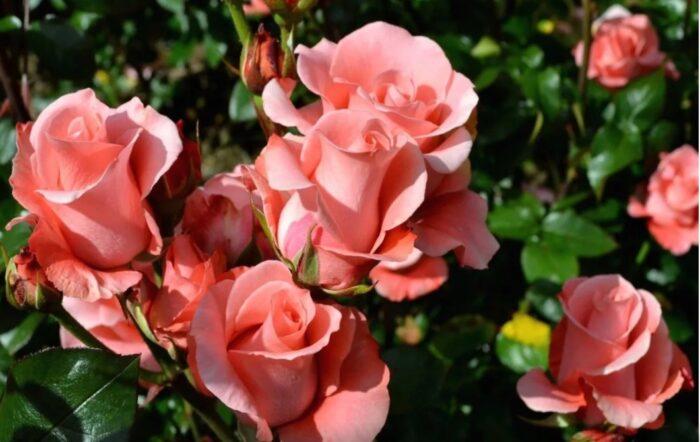 Роза в палисаднике