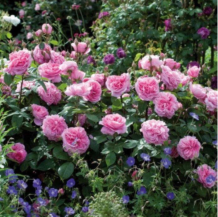 Роза в июле